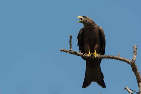 forked tail: A Black Kite  Milvus migrans  crying plaintively