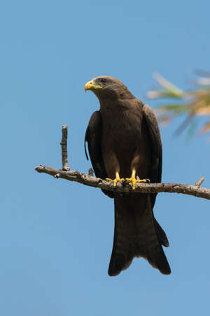 forked tail: A Black Kite  Milvus migrans  perched on a branch