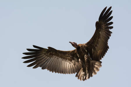 legs wide open: A Hooded Vulture  Necrosyrtes manachus  in flight with wings in a wide curve Stock Photo