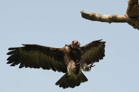 legs wide open: A Hooded Vulture  Necrosyrtes manachus  landing on a branch  directly above me