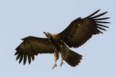 legs wide open: A Hooded Vulture  Necrosyrtes manachus  with legs out ready for landing