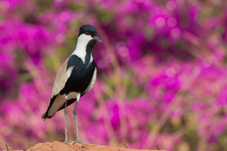 vanellus spinosus: A Spur-Winged Plover  Vanellus Spinosus  standing in front of purple flowers Stock Photo