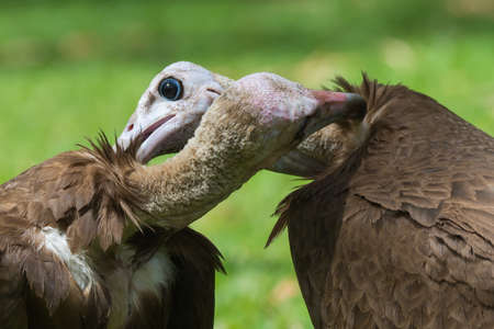 mutually: Two Hooded Vultures  Necrosyrtes monachus  mutually preening each other