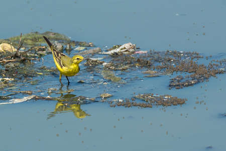 A British Yellow Wagtail  Motacilla flava flavissima  standing on floating garbage and sewage photo