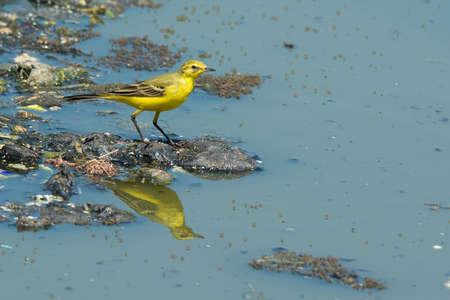 A British Yellow Wagtail  Motacilla flava flavissima  standing on floating garbage and sewage photo