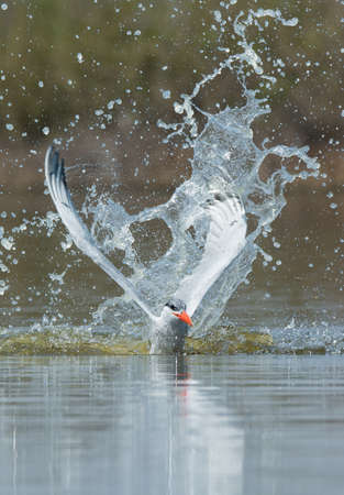 resurfacing: A Caspian Tern (Hydroprogne caspia) resurfacing after impressive impact