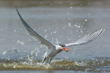 resurfacing: A Caspian Tern (Hydroprogne caspia) resurfacing with a fish after an impressive impact