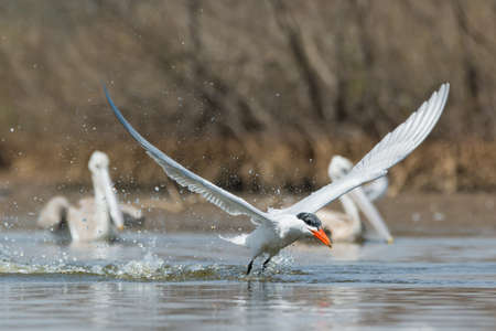 A Caspian Tern (Hydroprogne caspia) taking to the air after a dive in front of two pink-backed pelicans 免版税图像