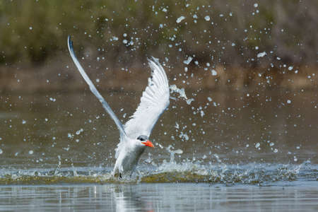 A Caspian Tern (Hydroprogne caspia) with a nice splash taking to the air after a dive 免版税图像