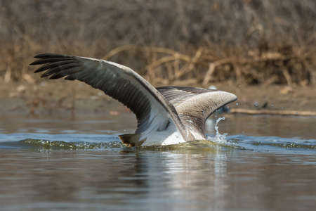 A Pink-backed Pelican (Pelecanus rufescens) with its head under water diving for fish 免版税图像