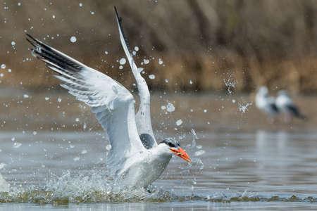 resurfacing: A Caspian Tern (Hydroprogne caspia) resurfacing with a fish after a successful dive Stock Photo