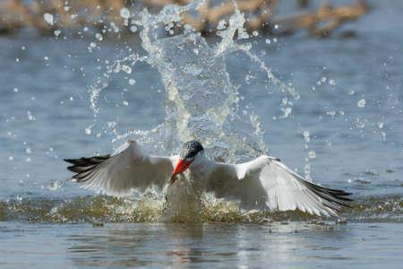 resurfacing: A Caspian Tern (Hydroprogne caspia) resurfacing with a fish