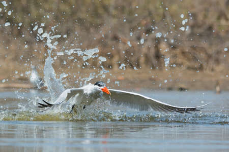 A Caspian Tern (Hydroprogne caspia) taking to the air after a dive 免版税图像