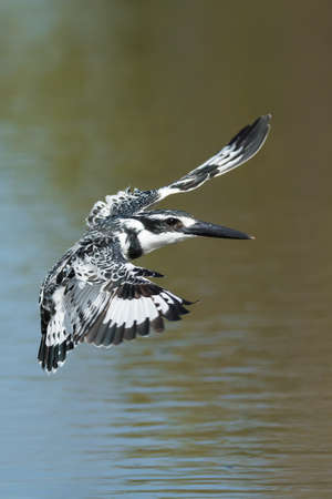 A Pied Kingfisher (Ceryle rudis) hovering in flight above water