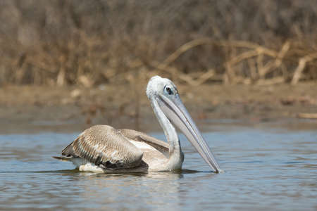 A Pink-backed Pelican (Pelecanus rufescens) serenely floating in the mangroves