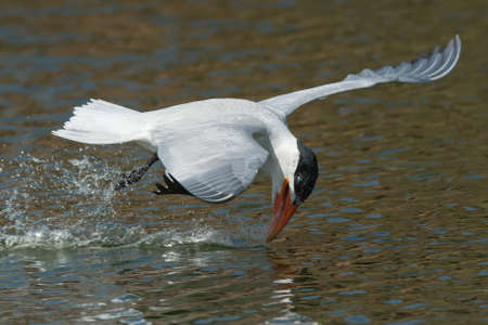 inexperienced: An inexperienced Caspian Tern  Hydroprogne caspia  with its head forced back learning to drink while flying