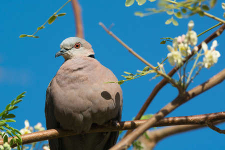 An African Mourning Dove (Stretopelia decipiens) resting in a moringa tree photo