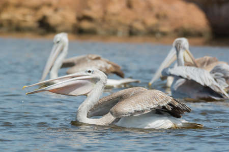 swallowing: A Pink-backed Pelican  Pelecanus rufescens  swallowing a fish