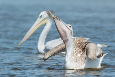 swallowing: A Pink-backed Pelican  Pelecanus rufescens  swallowing some fish Stock Photo