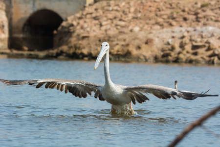 wingspan: A Pink-backed Pelican  Pelecanus rufescens  with huge wingspan lunging for fish