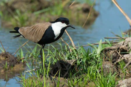 vanellus spinosus: A Spur-Winged Plover  Vanellus Spinosus  on alert on a grassy bank