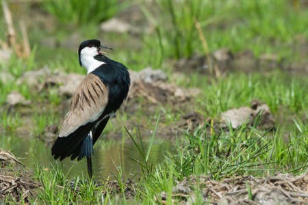 vanellus spinosus: A Spur-Winged Plover  Vanellus Spinosus  displaying proudly on the edge of a grassy pond Stock Photo
