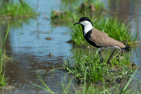 vanellus spinosus: A Spur-Winged Plover  Vanellus Spinosus  on a grassy island in a marsh