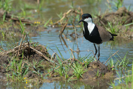 vanellus spinosus: A Spur-Winged Plover  Vanellus Spinosus  on a pond bank lined with grass