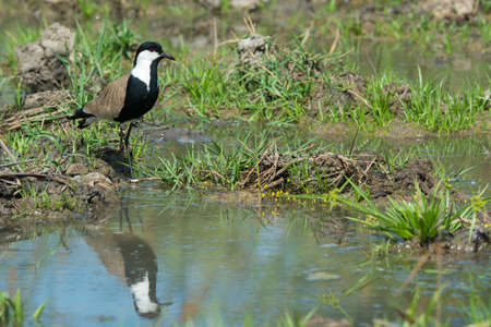 vanellus spinosus: A Spur-Winged Plover  Vanellus Spinosus  reflected in a pond lined with grass