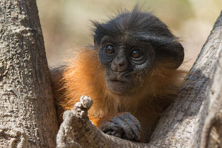 A young Western Red Colobus Monkey  Piliocolobus badius  looking concerned