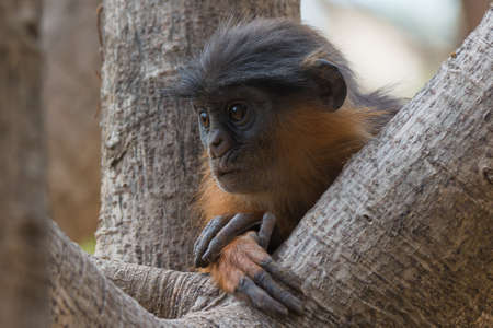lost in thought: A young Western Red Colobus Monkey  Piliocolobus badius  lost in thought Stock Photo
