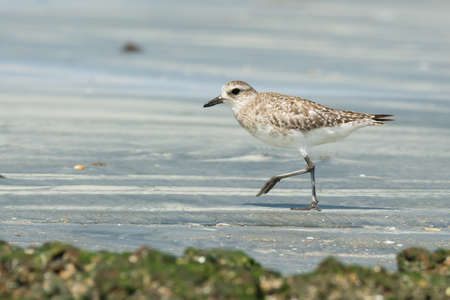 pluvialis: A Grey Plover  Pluvialis squatarola  walking on the sand at low tide Stock Photo