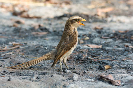 billed: A Yellow-billed shrike (Corvinella corvina) standing in ashes with its mouth wide open