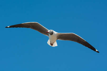 gently: A Grey-Headed Gull  Larus cirrocephalus  floating gently on the wind Stock Photo