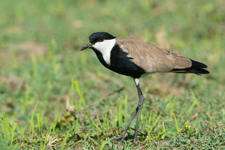 vanellus spinosus: A Spur-Winged Lapwing  Vanellus Spinosus  in a grassy field