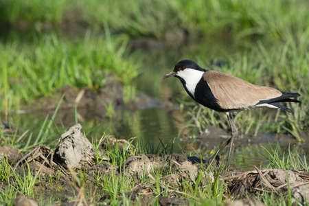 vanellus spinosus: A Spur-Winged Lapwing  Vanellus Spinosus  on a grassy bank in a marsh