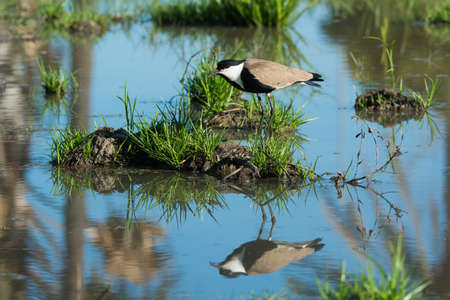 vanellus spinosus: A Spur-Winged Lapwing  Vanellus Spinosus  on an island reflected in water