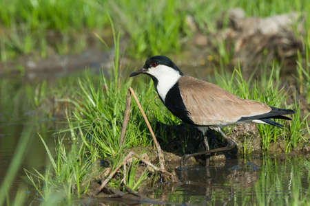 vanellus spinosus: A Spur-Winged Lapwing  Vanellus Spinosus  stepping out of the mud