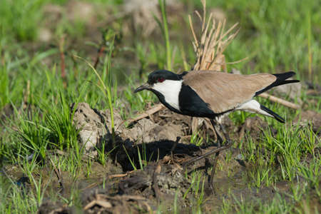 vanellus spinosus: A Spur-Winged Lapwing  Vanellus Spinosus  taking a careful step in the marsh