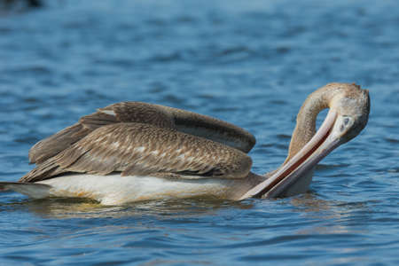 the draining: A Pink-backed Pelican  Pelecanus rufescens  draining out water before swallowing trapped fish Stock Photo