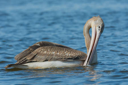 swallowing: A Pink-backed Pelican  Pelecanus rufescens  draining out water before swallowing trapped fish Stock Photo