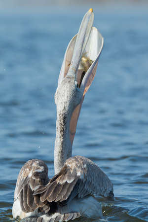 swallowing: A Pink-backed Pelican  Pelecanus rufescens  swallowing with fish visible