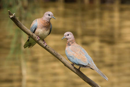 Laughing Dove  Stretopelia senegalensis  couple together on a branch photo