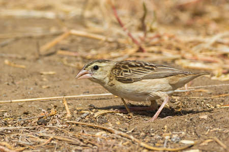 perch dried: A Northern Red Bishop  Euplectes franciscanus  searching for seeds in the sand Stock Photo