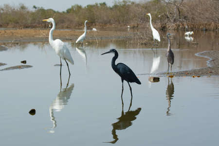 and egrets: A group of Western Reef Herons  Egretta gularis  and Great White Egrets  egretta alba  spread out in the mangroves for fishing Stock Photo