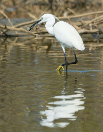 A white Western Reef Heron  Egretta gularis  looking for privacy to eat its fish photo