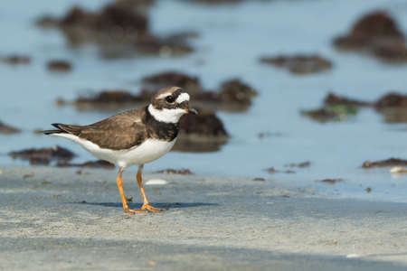 ringed: Adorable Ringed Plover  Charadrius hiaticula  on the beach Stock Photo
