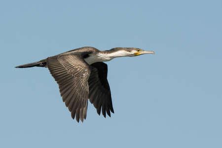carbo: Great Cormorant  Phalacrocorax carbo  in flight Stock Photo