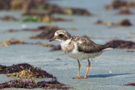 bedraggled: Ringed Plover  Charadrius hiaticula  with worn plumage on the beach Stock Photo
