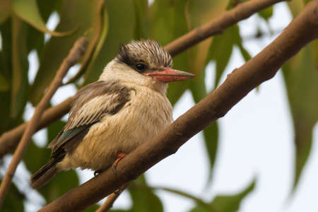 rotund: A tubby and fluffy Striped Kingfisher (Halcyon chelicuti) perched on a branch